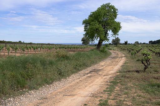 Celtis australis, Castelnau-de-Guers, Hérault