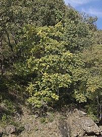 Celtis australis Losar 20071111.jpg
