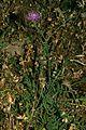 Centaurea sicana.jpg