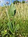Centaurium erythraea (subsp. erythraea) sl9.jpg