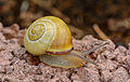 Cepaea hortensis - Schnecke - snail - Mörfelden-Walldorf - 03.jpg