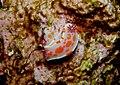 Ceratosoma amoenum - Poor Knights Islands - 4329150760.jpg