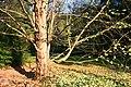 Cercidiphyllum japonicum JPG1Ab.jpg