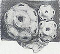 Ceroplastes sinensis.jpg