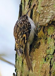 Certhia familiaris -climbing tree-8 (cropped version).jpg