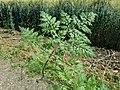 Chaerophyllum bulbosum sl18.jpg