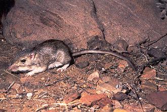 Chaetodipus - Chaetodipus baileyi