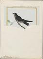 Chaetura spinicauda - 1700-1880 - Print - Iconographia Zoologica - Special Collections University of Amsterdam - UBA01 IZ16700117.tif