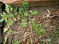 Chamaesyce hirta plant1 (12111804676).jpg