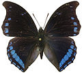 Charaxes laodice from CAR.jpg