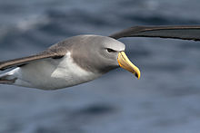 Chatham Albatross-off Eaglehawk TAS-03Sept2011.jpg