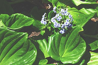 Chatham Islands - Chatham Islands Forget-me-not (Myosotidium hortensia)