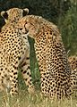Cheetah, Acinonyx jubatus, at Pilanesberg National Park, Northwest Province, South Africa. (27308977710).jpg
