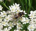 Cheilosia illustrata. - Flickr - gailhampshire.jpg