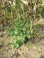 Chenopodium hybridum sl11.jpg
