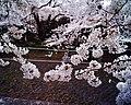 Cherry blossom near Zenpukuji river, Tokyo; July 2006 (13).jpg