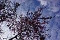 Cherry blossoms 櫻花 - panoramio.jpg