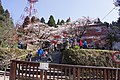 Cherry blossoms in front of Alishan Police Station 20150318a.jpg