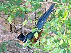 Chestnut-Winged Cuckoo-1.jpg
