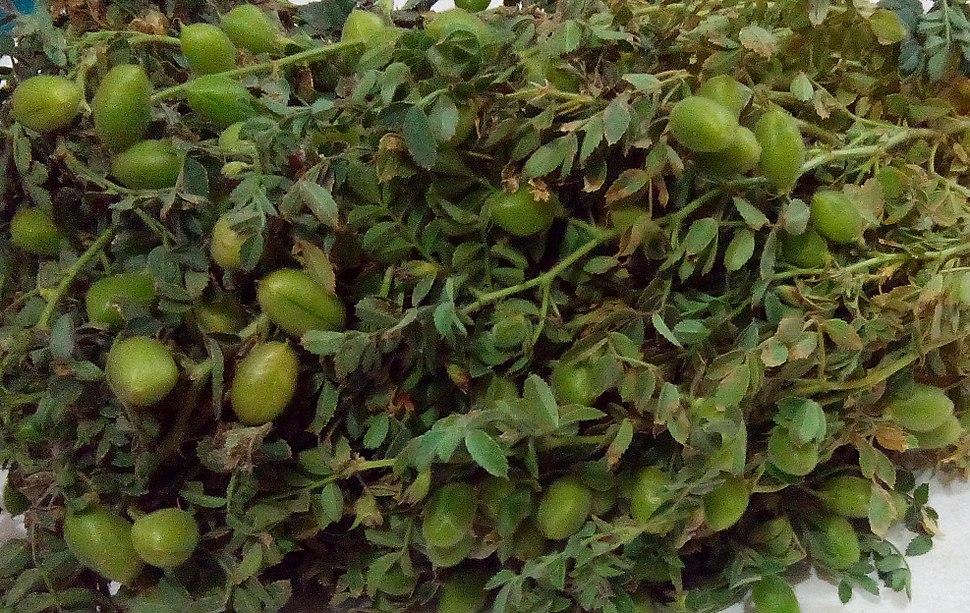 Kabuli Chana Plant Chickpea - Howl...