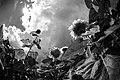 Chilliwack Sunflower Festival 2.jpg