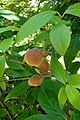 Chimonanthus praecox kz2.jpg