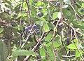 Chionanthus ramiflorus 33.jpg