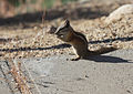 Chipmunk profile.jpg