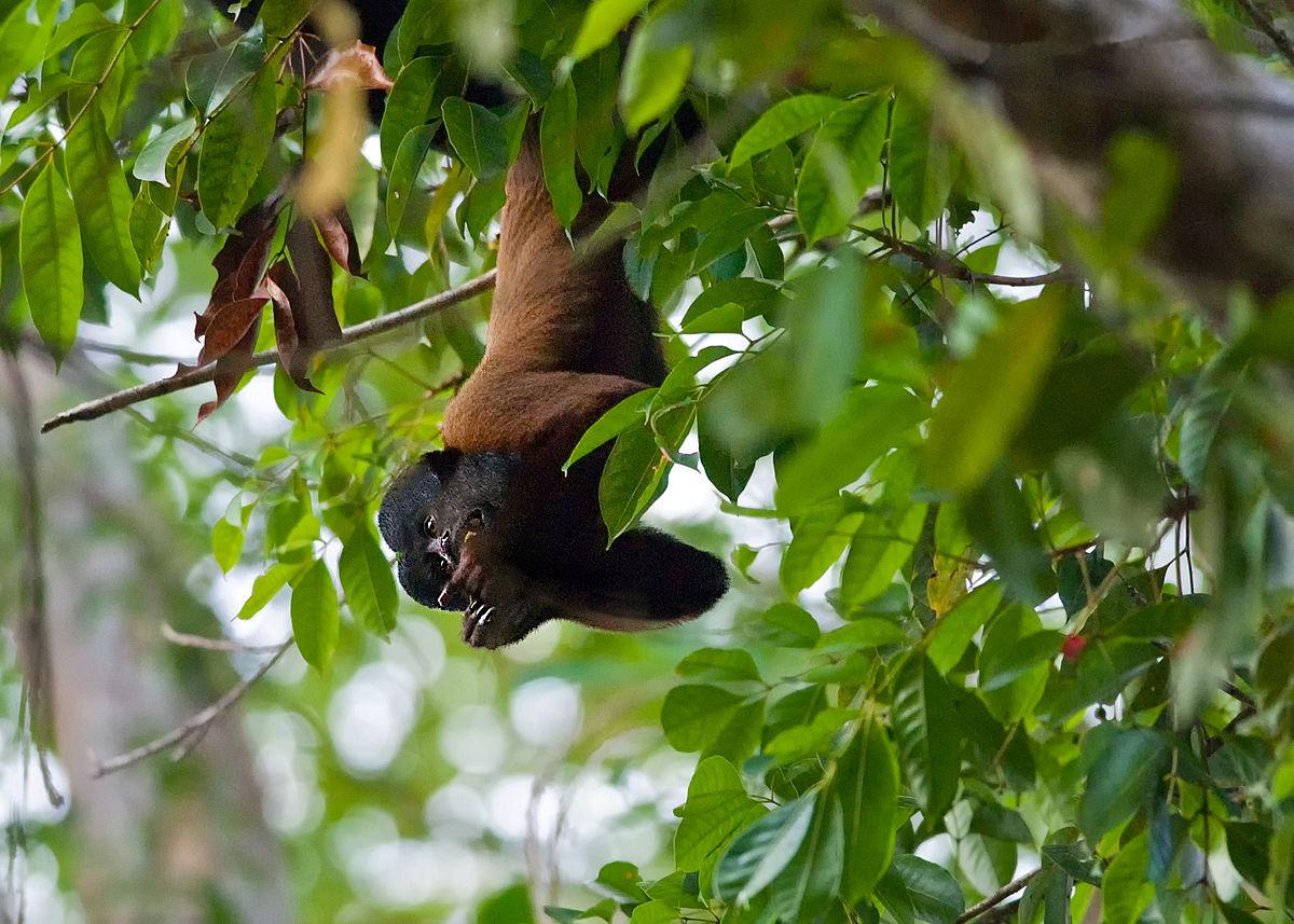 Bearded Monkey Name: Red-backed Bearded Saki