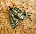 Chloroclysta siterata. Red-green Carpet - Flickr - gailhampshire (1).jpg