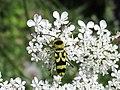 Chlorophorus varius 13.2.53.jpg