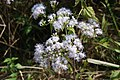Chromolaena odorata Laos.jpg