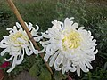 Chrysanthemum flowers 2.jpg