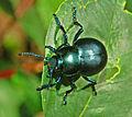 Chrysomelidae - Timarcha tenebricosa.JPG