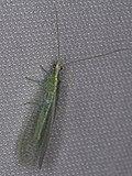 Chrysopidae sp. (40968050250).jpg