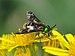 Chrysops relictus qtl1.jpg
