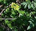 Chrysosplenium alternifolium 1.jpg