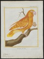 Chrysotis leucocephalus - 1700-1880 - Print - Iconographia Zoologica - Special Collections University of Amsterdam - UBA01 IZ18600125.tif