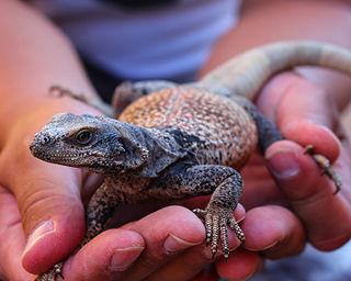 Chuckwalla genus of reptiles