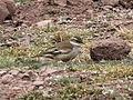 Cinclodes fuscus Peru.jpg
