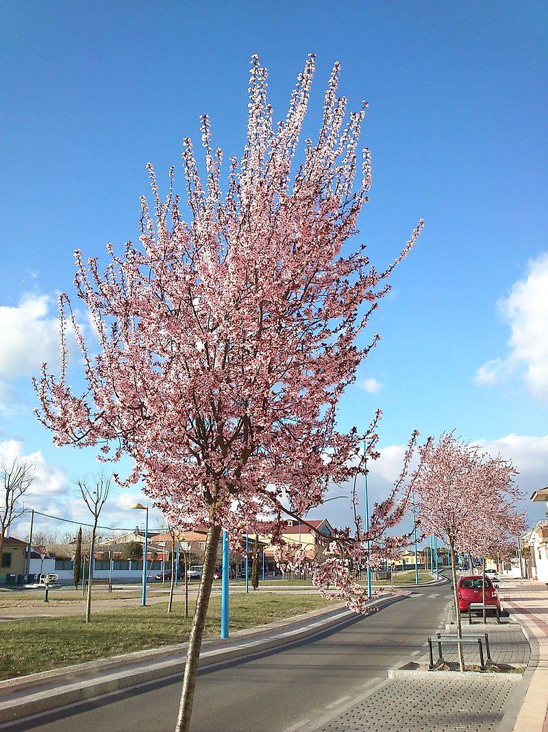 Ciruelo en flor Puente Duero.jpg
