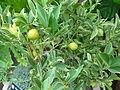Citrus japonica 'Centennial Variegated' - Kumquat.jpg