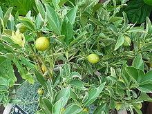 Kumquat Wikipedia