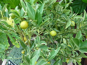 Kumquat - 'Centennial Variegated' kumquat tree