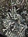 Cladonia fimbriata 58059541.jpg