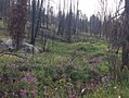 Cliff Creek Fire - Bridger-Teton National Forest - 2017 - 3.jpg