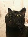 Close up of a black domestic cat.jpg