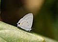 Close wing position of Catochrysops panormus Felder, 1860 – Silver Forget-me-not (2).jpg