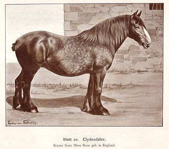 Clydesdale horse - A 1904 drawing of a Clydesdale mare