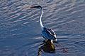 Cocoi Heron - Garza morena (Ardea cocoi) (9722302983).jpg